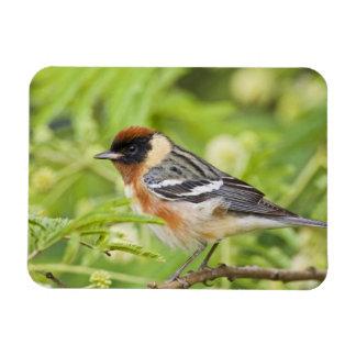 Bay-breasted Warbler (Dendroica castanea) adult Magnet