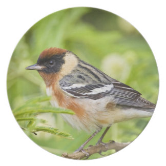 Bay-breasted Warbler (Dendroica castanea) adult Party Plates