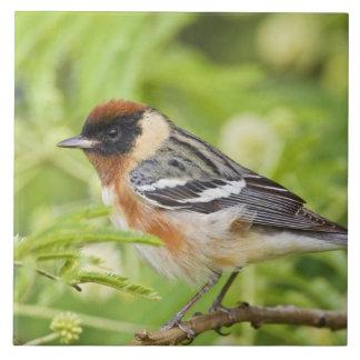 Bay-breasted Warbler (Dendroica castanea) adult Large Square Tile