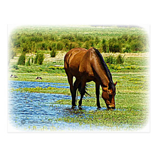 Bay Horse Post Cards