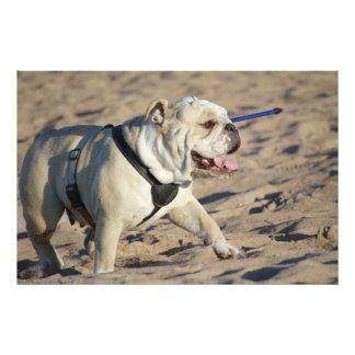 Beach Bulldog Photograph