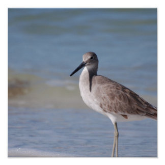 Beach Plover Posters