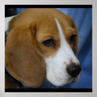 beagle-31.jpg poster