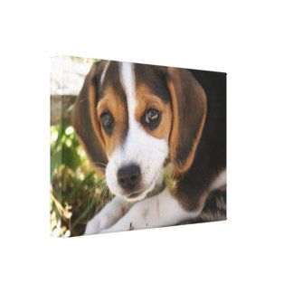 Beagle Baby Dog Gallery Wrapped Canvas