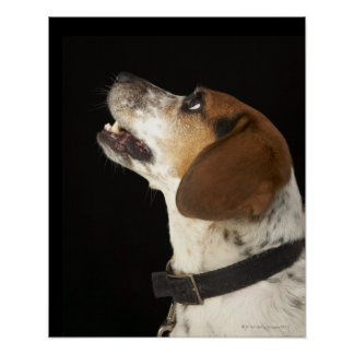 Beagle dog with black collar profile poster