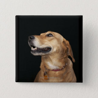 Beagle Golden Lab Mix looking to the side 15 Cm Square Badge