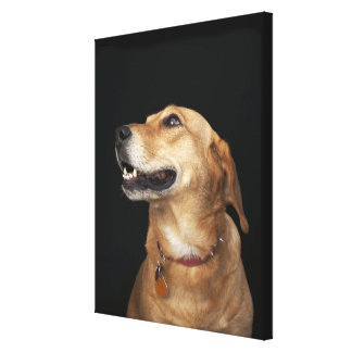 Beagle Golden Lab Mix looking to the side Gallery Wrap Canvas