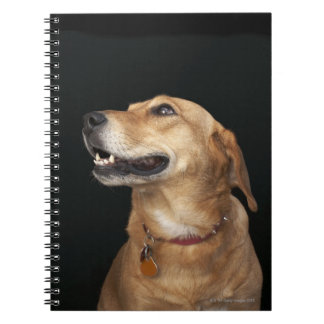 Beagle Golden Lab Mix looking to the side Notebooks