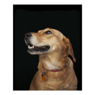 Beagle Golden Lab Mix looking to the side Poster