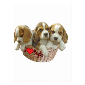 Beagle Hound Pups, I Love Beagles Postcard