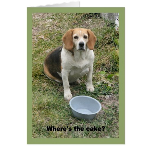 Beagle looking up from her food bowl. cards