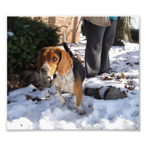 Beagle Outside in the Snow Lifting Paw Photographic Print