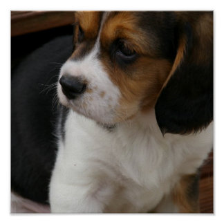 Beagle Pup Print
