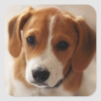Beagle Puppy 2 Square Sticker