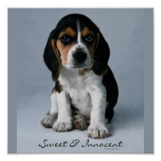 Beagle Puppy Dog Photo Poster