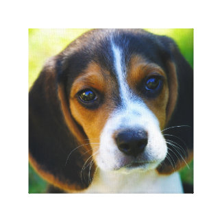 Beagle Puppy Stretched Canvas Print