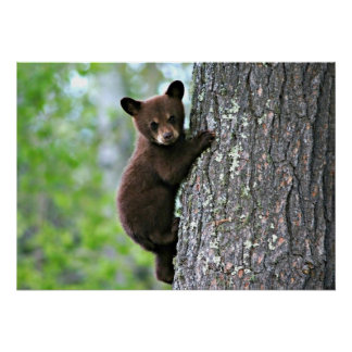 Bear Cub Climbing a Tree Posters