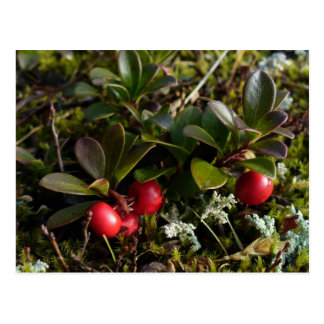 Bearberries, Unalaska Island Postcard