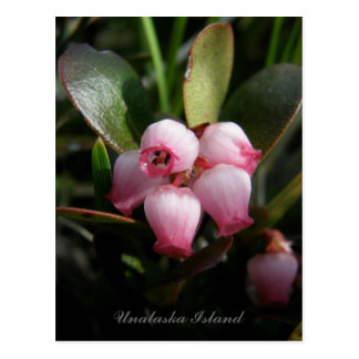 Bearberry Blossoms, Unalaska Island Postcard