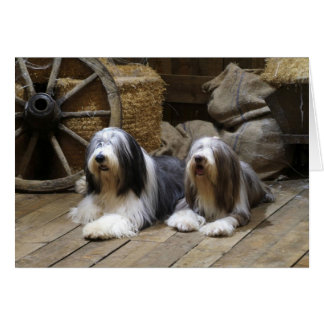 Bearded Collie Cards