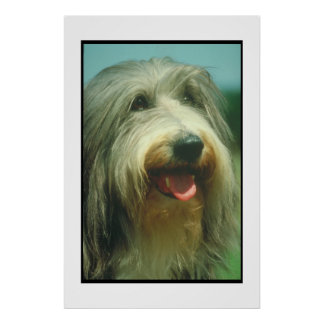 Bearded Collie Poster