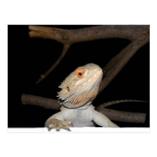 Bearded dragon 2 postcard