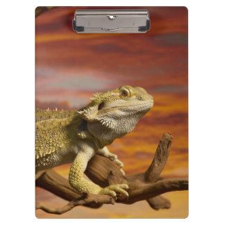 Bearded dragon (Pogona Vitticeps) on branch, Clipboard