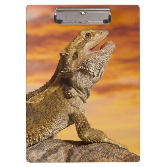 Bearded dragon (Pogona Vitticeps) on rock, Clipboard