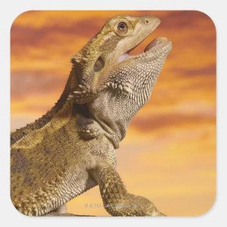Bearded dragon (Pogona Vitticeps) on rock, Square Stickers