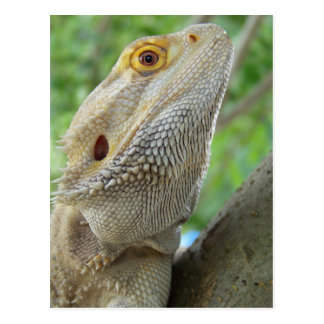Bearded Dragon Post Cards