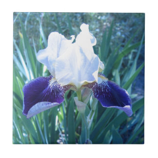 Bearded Iris Cultivar Mary Todd Small Square Tile