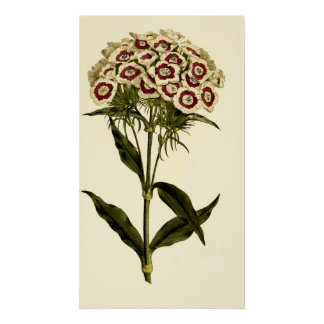 Bearded Pink or Sweet William Poster