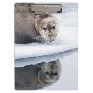 Bearded seal on ice, Norway Clipboard
