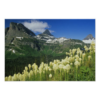 Beargrass near Logan Pass in Gacier National Poster