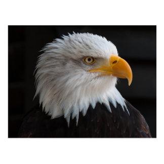 Beautiful bald eagle portrait postcard