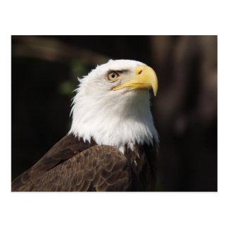 Beautiful Bald Eagle... Post Cards