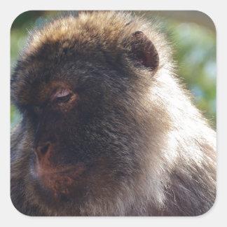 Beautiful Barbary Ape Square Sticker