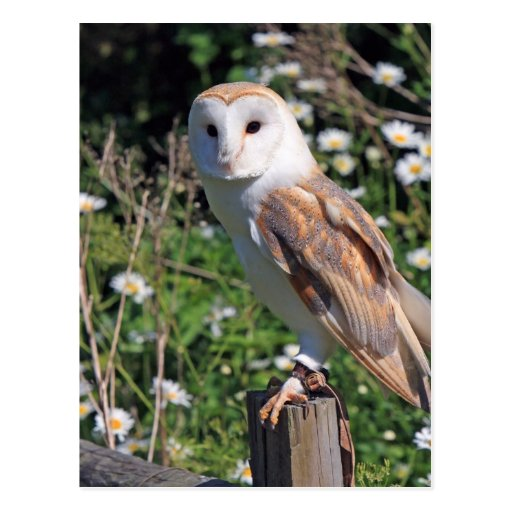 Beautiful barn owl post cards