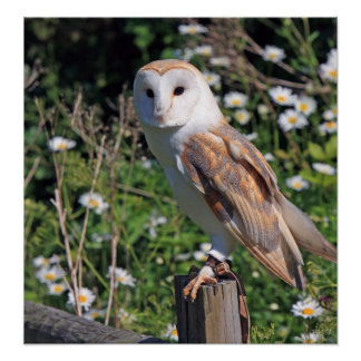Beautiful barn owl poster