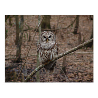 Beautiful Barred Owl on Perch Postcard