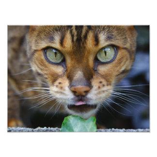 Beautiful Bengal Cat Photo Print
