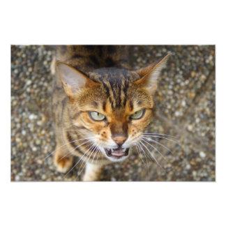 Beautiful Bengal Cat Photographic Print