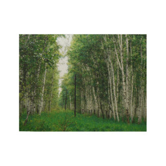 Beautiful Birch Tree Forest Wood Poster