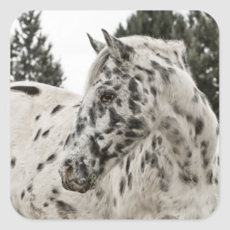 Beautiful Black and White Appaloosa Horse Square Stickers