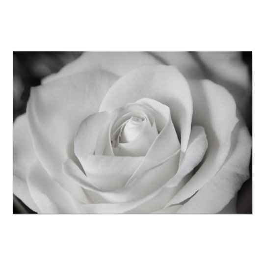 Beautiful Black and White Rose Poster
