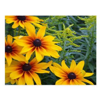 Beautiful black eyed susan flower garden postcard