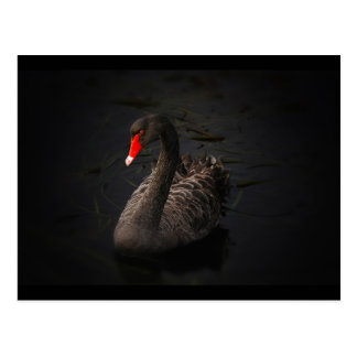 Beautiful Black Swan Swimming on a River Postcard