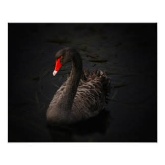 Beautiful Black Swan with a Bright Red Beak Posters
