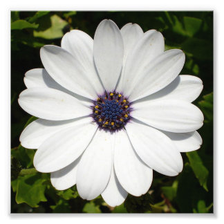 Beautiful Blossoming White Osteospermum Photo Print