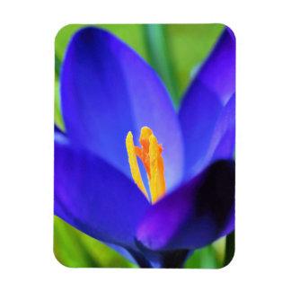 Beautiful blue crocus flower rectangular photo magnet